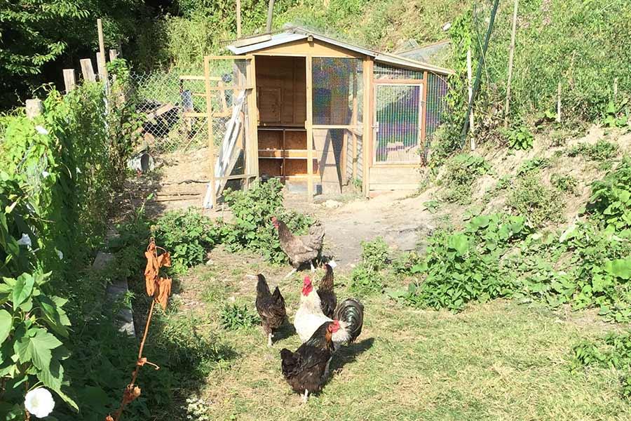 coqs_poules_poulallier